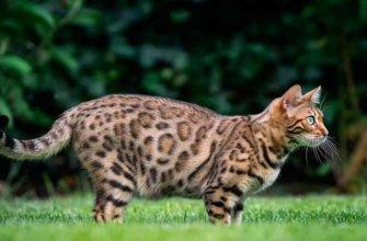 2436 бенгальская кошка окрасы