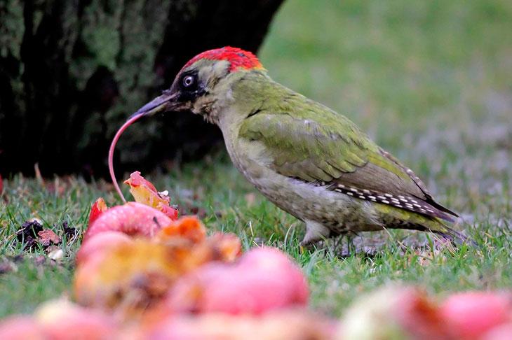 Питание зеленого дятла