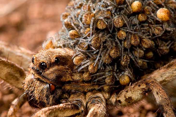 Размножение тарантулов