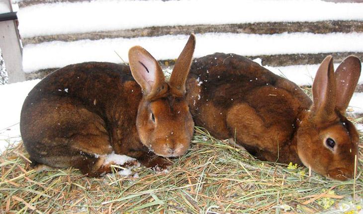 Особенности породы кроликов Рекс