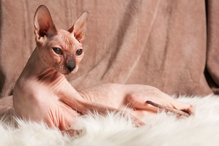 Сфинксы порода кошек