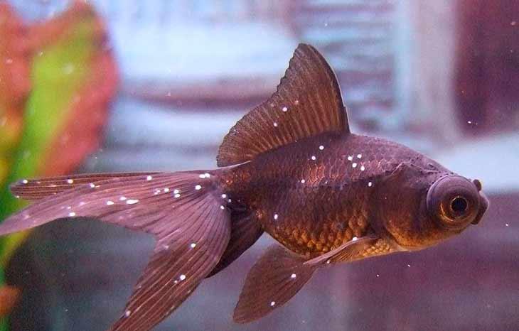 Заболевание манка у рыбок