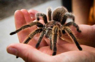 Описание тарантула