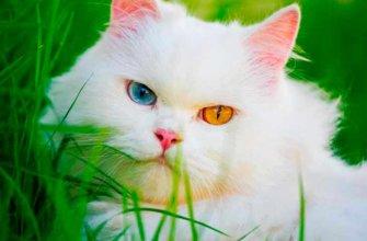 Разного цвета глаза у кошки