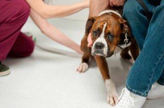 Как установить, что у собаки разъезжаются лапы?