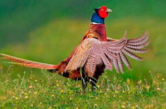 Описание фазана