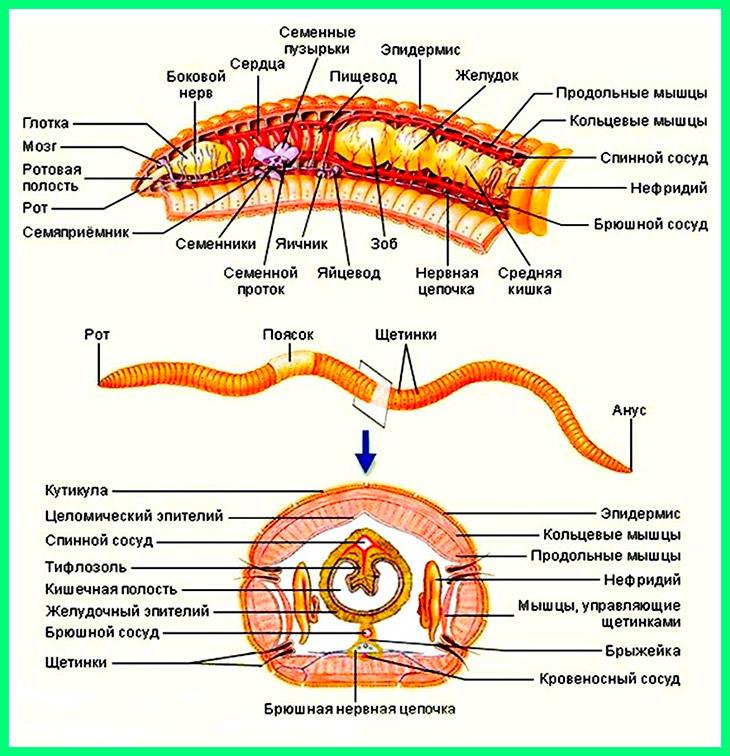 Описание кольчатых червей
