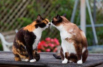 половое созревание кошки