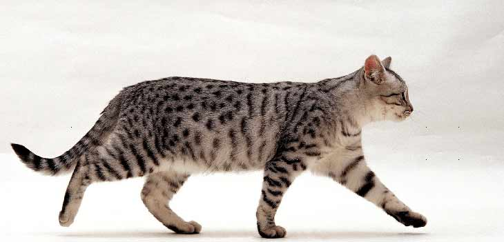 Особенности ходьбы кошек и котов