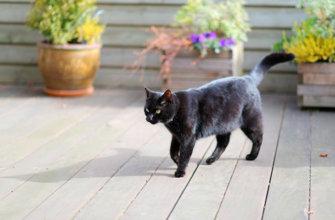 Что делать если приснилась черная кошка?