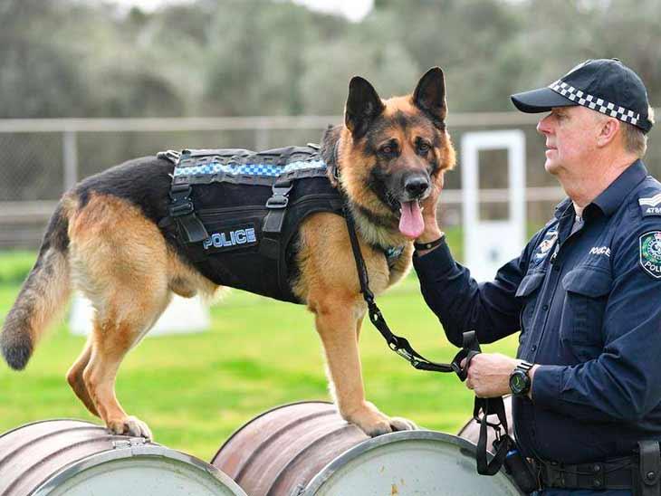 Полицейская овчарка