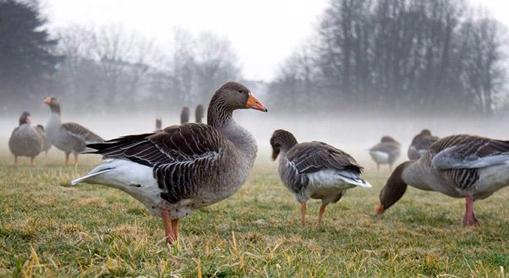 Для каких целей содержат и разводят гусей?