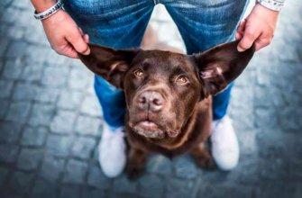 Причины горячих ушей у собак