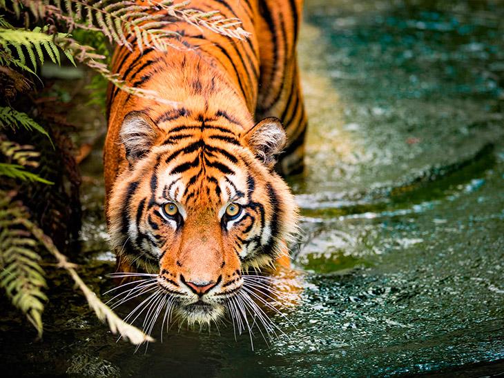 Топ - 30 интересных фактов о тиграх