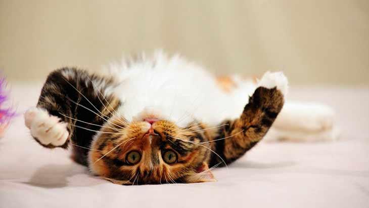 Трёхцветная кошка играет