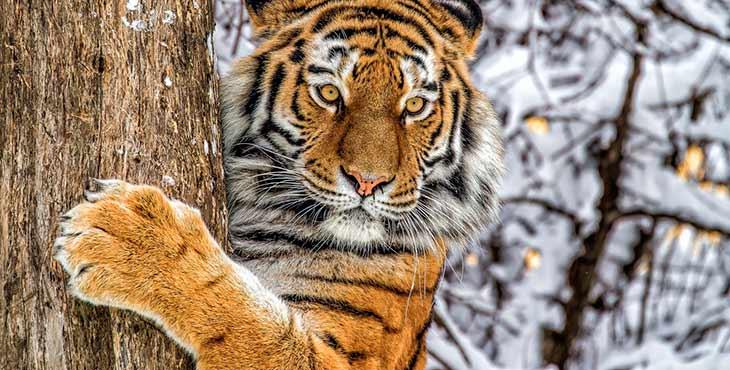 Амурского тигра