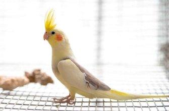 Особенности и описание попугая корелла
