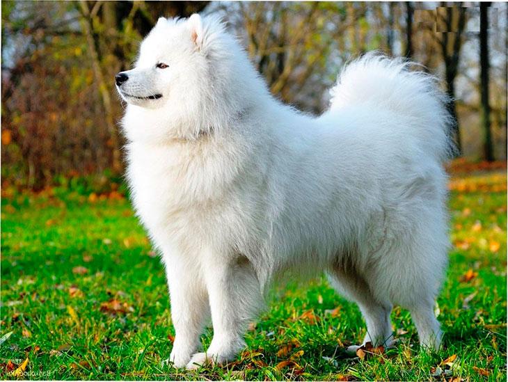 Самоед — пушистая белая собака