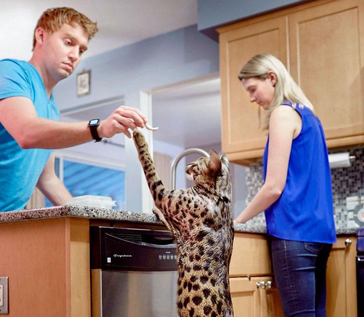 Купить кошку Ашера