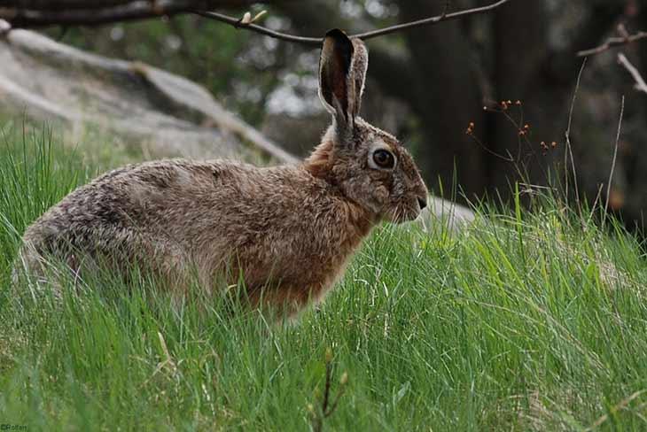 Рацион зайца-русака