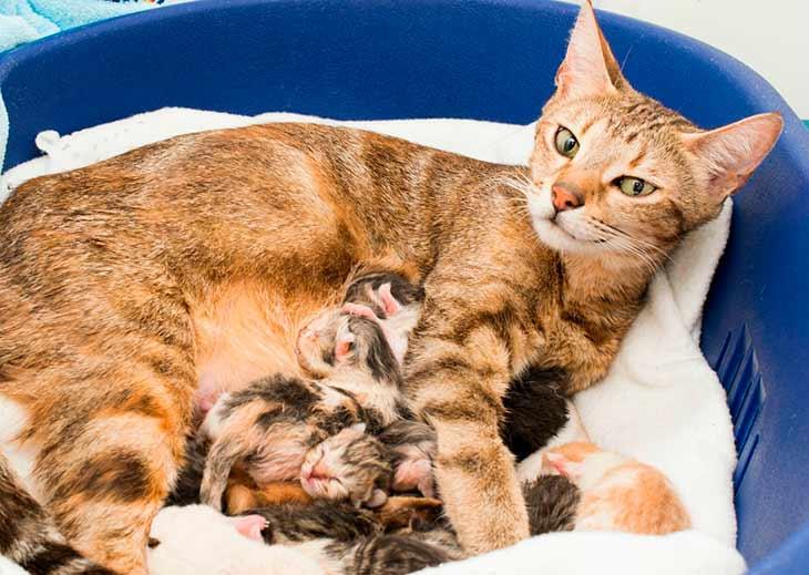 Кошка рожает сонник