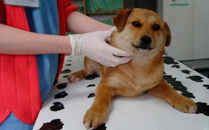 Лимфома или лимфосаркома собак