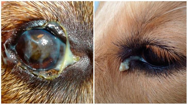 Симптомы конъюнктивитау собак