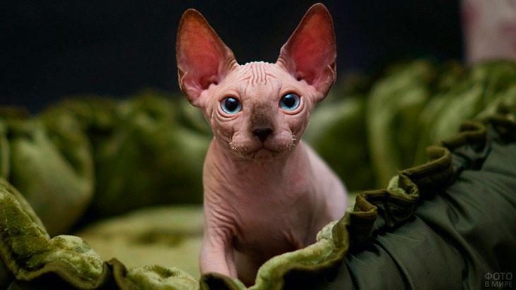 Особенности здоровья лысых пород кошек