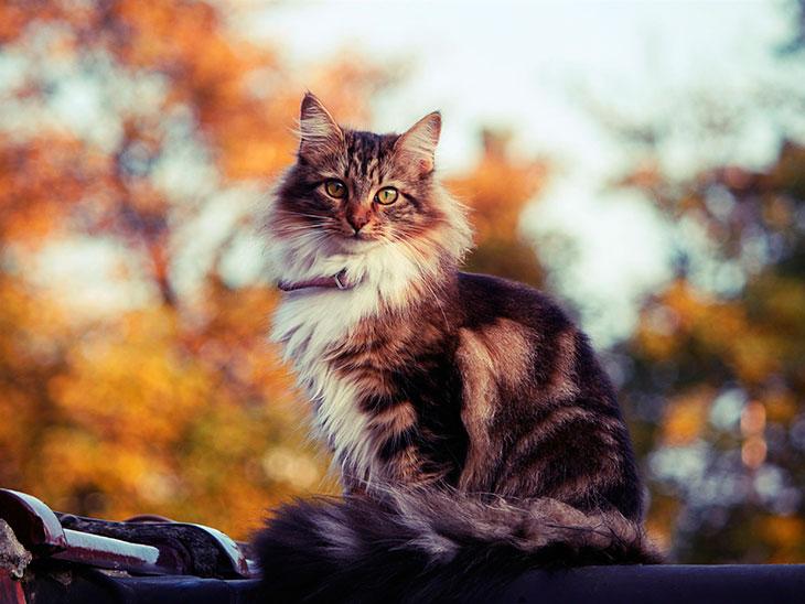 Чем кормить сибирскую кошку?