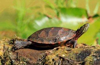 Что необходимо знать перед покупкой черепахи