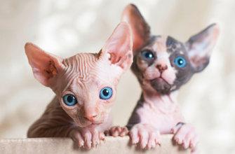 Породы голых кошек в мире