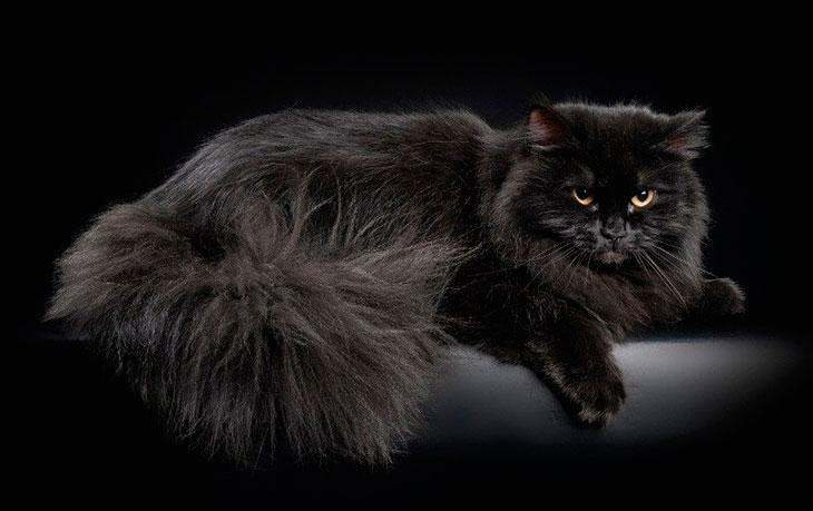 Черная сибирская кошка: