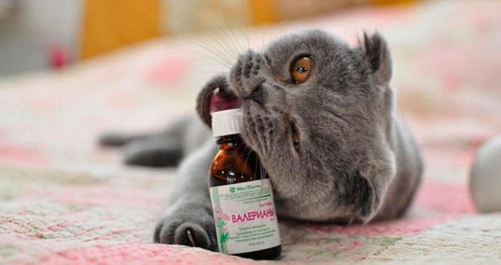 Валерьянка для кошек – не так эффективна, как все считают