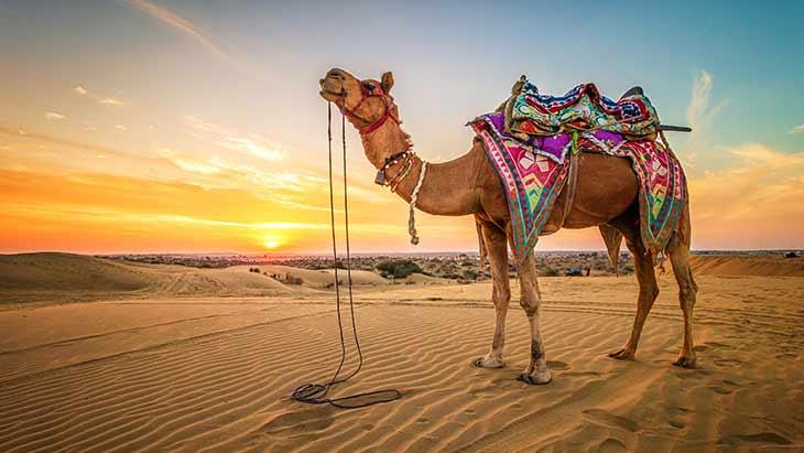Виды верблюдов