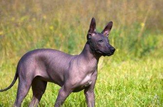 1365 мексиканская лысая собака