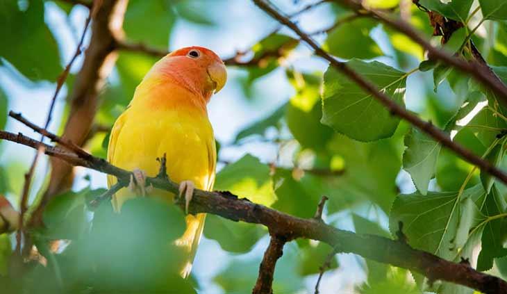 Описание попугая неразлучника