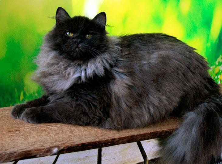 Здоровье и болезни сибирских кошек