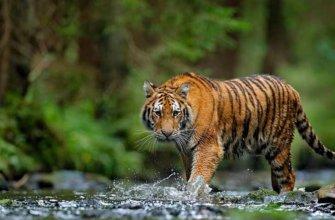 Тигр на реке