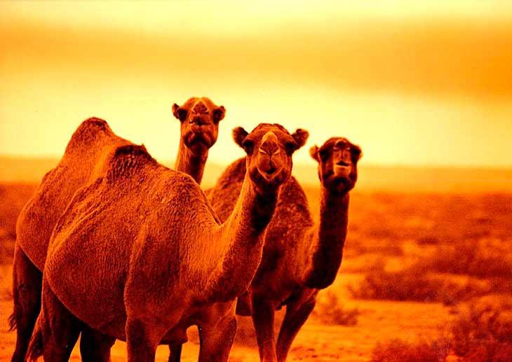 Описание верблюда