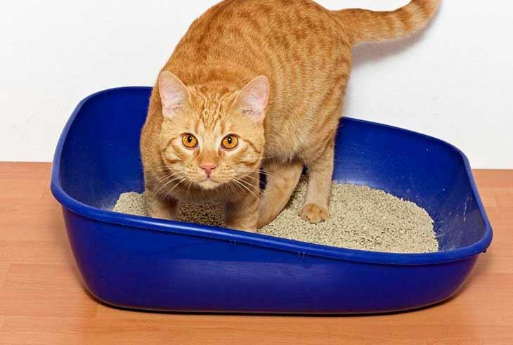 Как быстро кошка привыкнет к лотку?