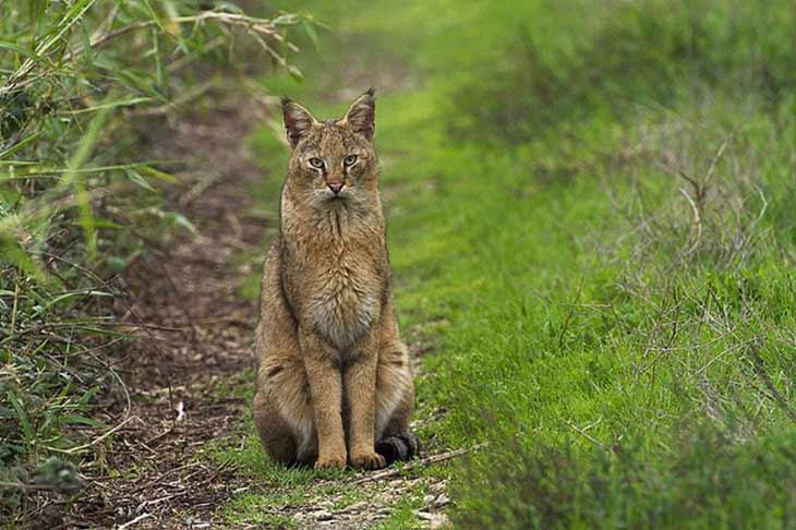Камышовый кот: история породы