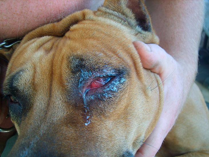 Причиныконъюнктивита у собак