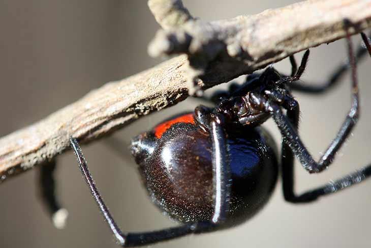 Пауки черные вдовы