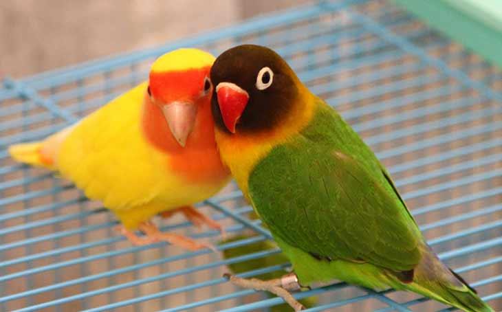 Содержание попугая неразлучника