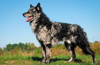 Муди (венгерская пастушья собака)