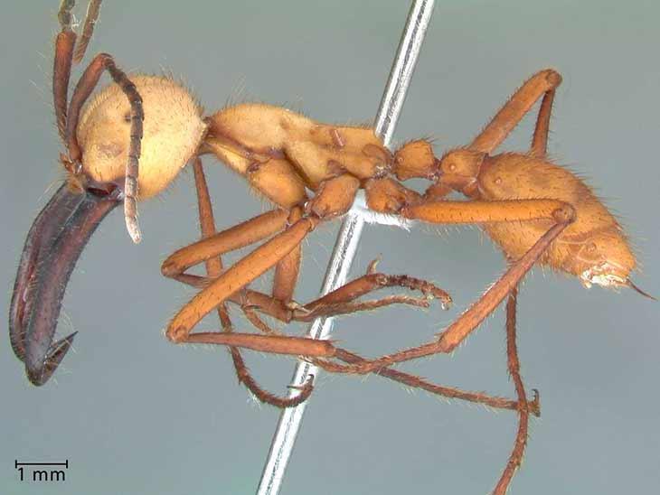 Армейский муравей