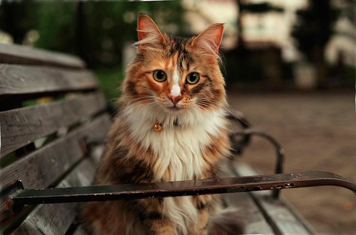10 место –Норвежская лесная кошка