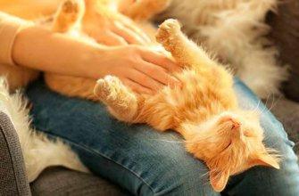 Почему твердый живот у кота