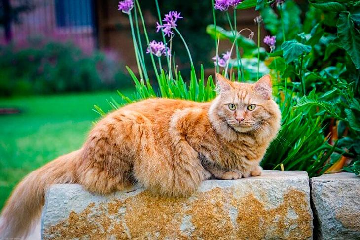 Рыжий сибирский кот: