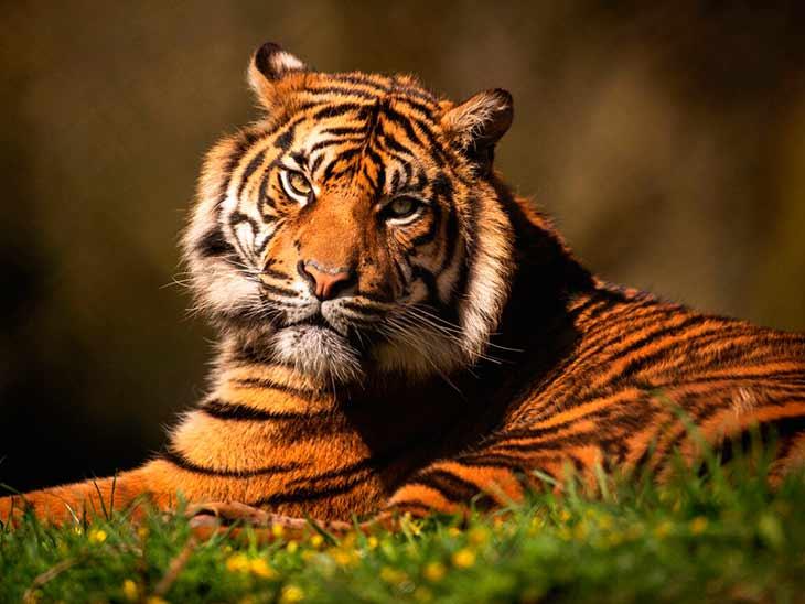 Охрана тигров